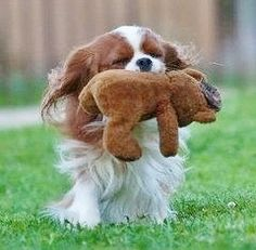 Cavalier with his teddy <3