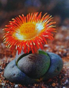 Split-Rock: Pleiospilos nelii