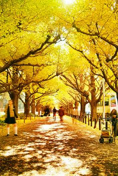 Gingko trees, Tokyo, Japan...now this looks awesome! I would love to walk down these streets! www.annjaneliving.com