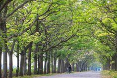 嘉義苦楝花綠色隧道》嘉義最長的苦楝花綠色隧道 筆直的綠色長廊散發淡淡清香【旅人狂潮@玩拍札記】 @ 【旅人狂潮】@艾倫的旅遊札記 :: 痞客邦 PIXNET :: Trees To Plant, Taiwan, Plants, Tree Planting, Plant, Planets