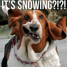 It's Snowing basset hound