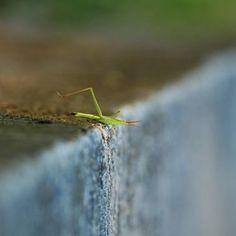 Grasshopper commits suicide