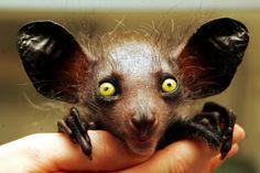 AIE-AIE Este animalzinho de Madagascar tem muito a ver com os pica-paus. Ele usa seus dentes de roedor e os dedos longos para escavar troncos em busca de insetos .
