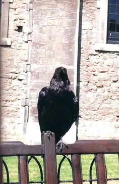 Tower raven.