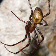 A cave spider, Meta menardi, was discovered at Hawkstone Park.