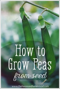 Peas are one of the easiest and most rewarding vegetables to grow in your home garden. Learn how to grow peas from seed with these simple instructions and grow your own homegrown peas this gardening season! #howtogrowpeas #growpeasfromseed List Of Vegetables, Growing Vegetables, Gardening For Beginners, Gardening Tips, Container Gardening, Gardening Supplies, Growing Peas, Home Vegetable Garden, Veggie Gardens