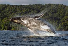 Bahia Solano, Colombia The Beautiful Country, Beautiful Places, Colombian People, Places To Travel, Places To Visit, Colombia Travel, Humpback Whale, My Animal, South America