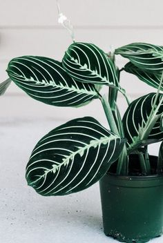 "Maranta Lemon Lime Prayer Plant 4 ""von Revive Nursery – Best Garden Plants And Planting Outdoor Plants, Garden Plants, Cool Indoor Plants, Indoor Garden, Succulent Plants, Indoor Tropical Plants, Nature Plants, Shade Plants, Cactus Plants"