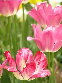 This is close to the color of the tulips my MIL sent me. :) Beautiful!!!