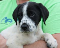 Meet Trina 22274, a Petfinder adoptable Labrador Retriever Dog | Prattville, AL | Trina is a 9-week-old female Lab mix. She is white with black markings that include black speckling...
