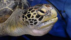 IlPost - Una tartaruga in cura al centro veterinario SEA LIFE di Sydney, in Australia (GREG WOOD/AFP/Getty Images) - Una tartaruga in cura al centro veterinario SEA LIFE di Sydney, in Australia (GREG WOOD/AFP/Getty Images)