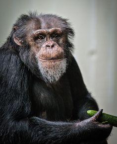 Chimp by Frank Rønsholt on 500px