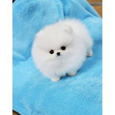 teacup pomeranian puppy.  How can anything be so adorable?