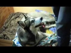 TOP | ТОП знаменитых Хаски Ютуба - YouTube Husky Mix, Siberian Huskies, Gallery, Dogs, Youtube, Animals, Life, Animales, Animaux