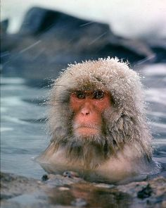 """From the Jan. 30, 1970 cover story - SNOW MONKEYS OF JAPAN. According to LIFE, """"On a rugged, windswept peninsula of northern Honshu, farther north than any other primates except man, a small colony of Japanese monkeys is maintaining a lonely outpost against the elements. Thousands of years ago, when the climate of Japan was milder, many more monkeys lived in these mountainous areas."""