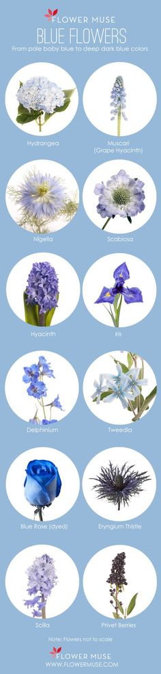 Blue Flowers! See more on Flower Muse blog: http://www.flowermuse.com/blog/favorite-blue-flowers/