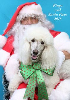 Ringo: Santa says I have been a very good boy! (Photo shoot at Yap Wear Albert Park, Australia. All proceeds to Saffron On The Hill Pug Rescue.)