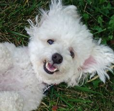 Nothing like a smiling Bichon! They all have personality PLUS