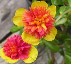 Portulaca Selby- annual- having no luck finding this bicolor!!!