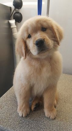 The properties I have about the Trustworthy Golden Retriever Dogs . - Puppies - The characteristics I have about the Trustworthy Golden Retriever Dogs - Super Cute Puppies, Cute Baby Dogs, Cute Little Puppies, Small Puppies, Cute Pups, Cavapoo Puppies, Puppies Tips, Puppies Puppies, Collie Puppies