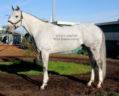 (NORTHERN CA)      Beautiful and kind 2008 gray gelding stands approx 15.3-16hh. Retired from a lovely career approximately 4 months ago, due to a minor injury. We're told he's doing extremely well and is expected to have …