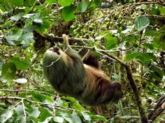 Slow and mysterious Sloth , typical Animal in Monteverde