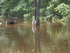 Seven Pit Bulls were close to their deaths when they were trapped in flood waters. Lucky for the dogs, rescue teams from the area came to their aid and all seven were saved.