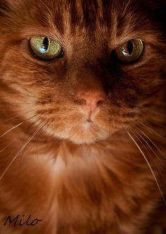 Chat roux | Ginger cat