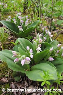 Showy Orchid ~ Galearis spectabilis - we have this on our land - this web site if full of great informatuion