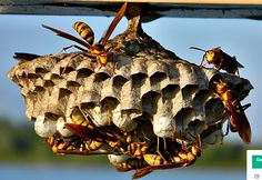 How to Knock Down Wasp Nests with Water Balloons