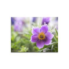 Blumenbild auf Leinwand, Fototapete oder Kunstdruck:  Frühlingsgeläut einer Küchenschelle