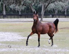 H Entuition H (Bey Ambition x RD Enzarra) 2013 bay mare bred by Hennessey Arabians, Florida