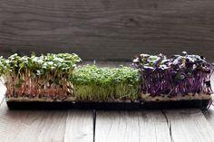 La primavera nel piatto: come cucinare i germogli