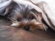 Sleepyhead. #threadsence #pebbles #yorkie