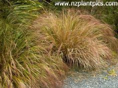 Anemanthele lessoniana - bamboo grass, wind grass, hunangamoho