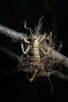 Carolina Leaf-Roller Cricket infected by Cordyceps fungus. Mushroom Art, Mushroom Fungi, Mirror Spider, Slime Mould, Plant Fungus, Weird Creatures, Ants, Stuffed Mushrooms, Nature
