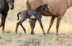 Say hello to Sterling | South Steens Wild Horses
