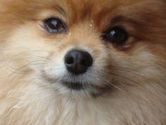 Lovely Pomeranian