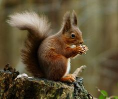 The red squirrel or Eurasian red squirrel is a species of tree squirrel in the genus Sciurus common throughout Eurasia. The red squirrel is an arboreal, primarily herbivorous rodent. Get Rid Of Squirrels, Squirrel Appreciation Day, Eastern Gray Squirrel, Animals And Pets, Cute Animals, Smart Animals, Wild Animals, Baby Animals, Fox Squirrel