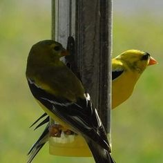 Dinner time for these two from earlier. #pair #couple #american #gold #finch #birds #yellow #black #thistle #eating #zoom #details #nikon #coolpix #camera #digital #art #naturephotography #nature #savebirds #photography #photo #myphoto #myphotography #evening #dinner #summer #adorable #love #beauty http://tipsrazzi.com/ipost/1525015803248826507/?code=BUp8csNgNiL