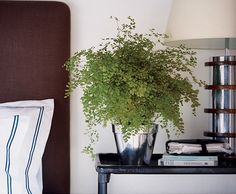 Unexpected ways to decorate with ferns: Up close, the delicate flower-petal- like leaves of the maidenhair fern create a study in shades of green. Nestled in this shiny pot beside the bed, it's a much nicer morning greeting than an alarm clock. - domino