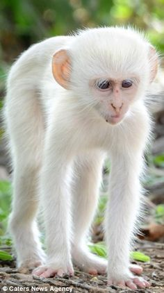 A-Z List of 125 Rare Albino Animals [Pics] Albinism is an genetic disorder characterized by a lack of melanin in the body, the body's color producing pigment. It is extremely rare. Here's a list of 125 rare albino animals. The Animals, Cute Baby Animals, Funny Animals, Wild Animals, Amazing Animals, Unusual Animals, Animals Beautiful, Strange Animals, Amazing Animal Pictures