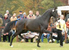 Hanoverian stallion Soliman de Hus