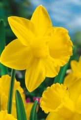 Narcissi St Keverne - Daffodil Bulb Narcissus Bulbs, Daffodil Bulbs, Daffodils, Perennial Bulbs, British Garden, Spring Sign, Spring Garden, Perennials, Colours