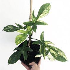 Philodendron Florida Beauty Weird Plants, Rare Plants, Plants Are Friends, Variegated Plants, Flower Pots, Flowers, Tropical Plants, Botany, Houseplants