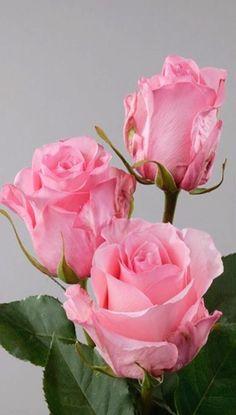 38 Ideas flowers love rose for 2019 Pretty Roses, Beautiful Roses, All Flowers, My Flower, Pink Rose Flower, Blush Roses, Red Roses, Orquideas Cymbidium, Rosen Tattoos