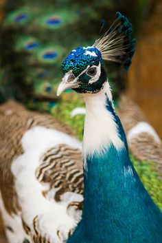 Birds - Peacock - How to raise peafowl. Most Beautiful Birds, Pretty Birds, Animals Beautiful, Exotic Birds, Colorful Birds, Exotic Pets, Exotic Animals, Peacock And Peahen, Peacock Bird