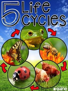 SO many activities for a life cycle unit! Posters, read alouds, writing activities, graphic organisers, reading comprehension, mini readers, observation journals... This unit can easily last a month!