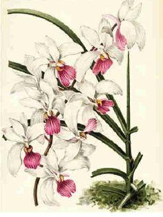 vintage botanical graphics: VINTAGE FLOWERS