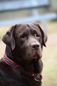 I prefer 'English' labs- thick & blocky, stockier than the slender 'American' labs. Gentle giants.